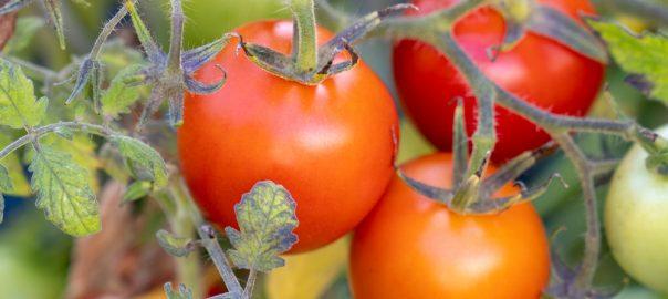 Tomaten im eigenen Hochbeet