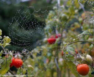 Spinnennetz im Tomatenbeet-09-2019